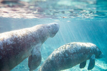 Manatees In A Florida Spring