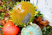 Two Orange And Green Pumpkins Lie On The Grass With A Sunflower And Black Seeds Near A White Vintage Rustic Shabby Board Homemade Autumn Harvest In Garden. Red Maple Leaves. Fall Concept.Healthy Food