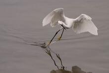 Egret Showing Its Fishing Technique