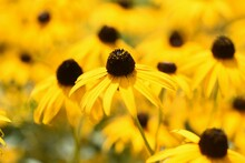 Rudbeckia Is A Flower Of Aster...