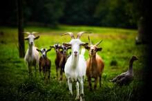Goat Squad 3