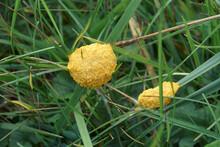Dog Vomit Slime Mold (Fuligo S...