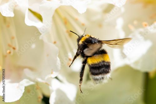 Tablou Canvas A cute bumblebee approaching a flower