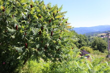 Tree, Staghorn Sumac Seeds, St...