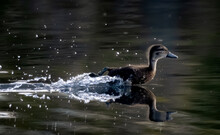 Small Duck Zooming Along The W...