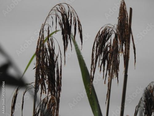 Deszcz nad jeziorem - krople na trawach, uspokajający widok Billede på lærred