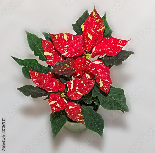Fototapeta Red spotted christmas flower plant, poinsettia close up obraz na płótnie