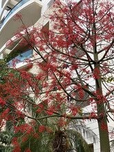 Australian Brachychiton Acerifolius, Commonly Known As The Illawarra Flame Tree, Flowering In Summer On A Bare Leafless Tree Is Glorious Sight With Its Bright Red Bell Shaped Blooms. Tel Aviv. Israel