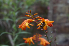 Bee On Orange Tiger Lily In Garden