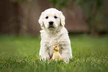 Golden Retriever Puppy And Duc...