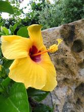 Yellow Hibiscus Flower In Tropical Garden
