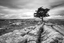 A Single Isolated Hawthorn Tree On A Limestone Pavement In The Yorkshire Dales