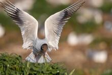Mouettes Rieuses (Chroicocephalus Ridibundus - Black-headed Gull)