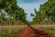 Rubber Plantation, Chupp, Kampong Cham Province, Cambodia