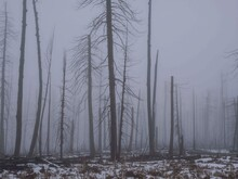 Towering Barren Trees In Dense Fog In The Aftermath Of A Forest Fire