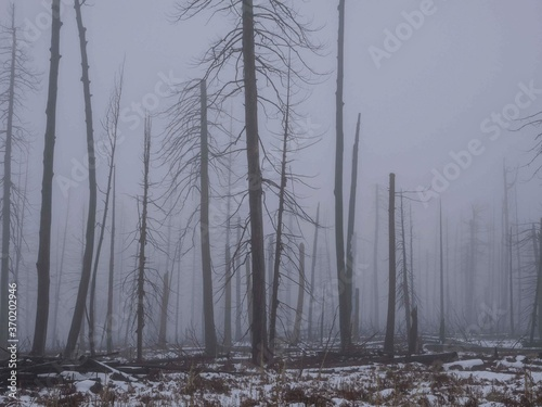 Tela Towering barren trees in dense fog in the aftermath of a forest fire