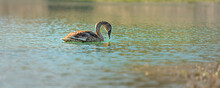 Young Elegant Swan Swims Alone In The Clear Water Of A Gravel Pit