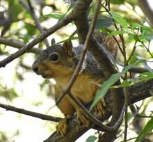 An Eastern Fox Squirrel (Sciur...