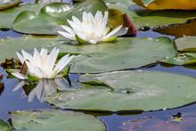 白い睡蓮の花 千町無田水田公園 大分県玖珠郡 White Water Lily Flower Ooita-ken Kusu-gun