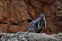 Black Footed Rock Wallaby. An ...