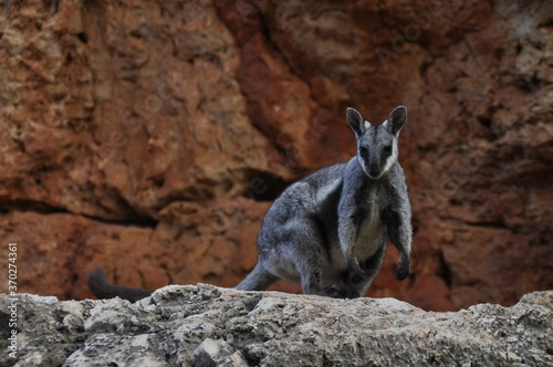 Photo Black footed rock wallaby