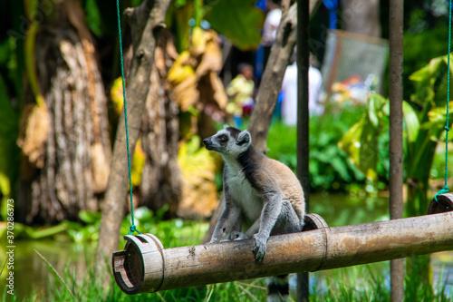 マダガスカルのワオキツネザル(Ring-tailed lemur) Wallpaper Mural