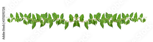 Green leaves nature frame border of devil's ivy or golden pothos the tropical fo Canvas Print