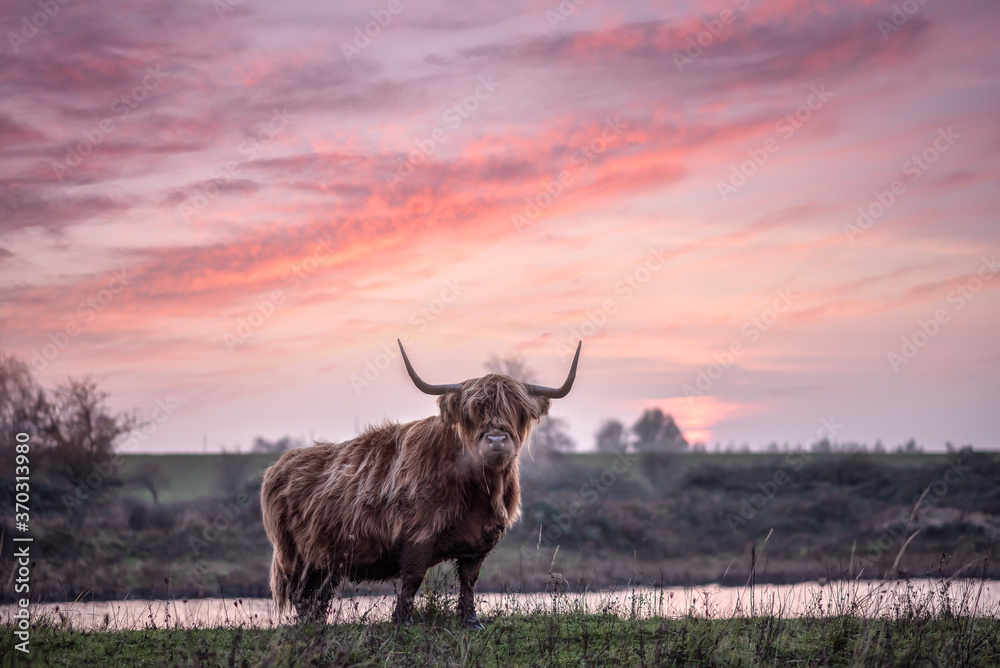 Fototapeta Highland cattle with big horns grazing at the Dintelse Gorzen in the Netherlands