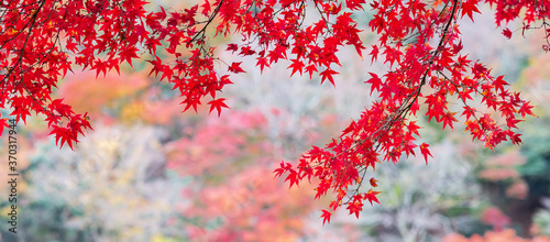 Cuadros en Lienzo red maple leaves in the garden with copy space for text, natural colorful backgr