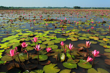 Stock Photo - Lotus, Nelumbo Nucifera, Locally Known As 'Padma', Is An Aquatic Nymphaceous Plant, Found In The Lowlands Of Bangladesh.