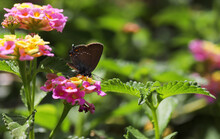 Love Me Big, Butterfly / Satyrium With Me