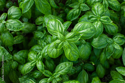 Fotografie, Obraz Beautiful jucy green basil growing in the garden