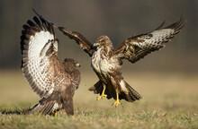 Common Buzzard (Buteo Buteo) I...