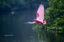 Flying Roseatte Spoonbill With...
