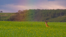 White-tailed Deer Bucks Jumping Into A Rainbow In A Canola Field.