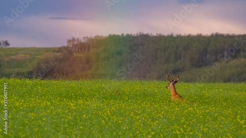 Fotografie, Tablou White-tailed deer bucks jumping into a rainbow in a canola field.