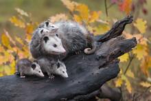 Virginia Opossum (Didelphis Vi...
