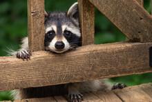 Mother Raccoon Peeking Through Deck Rails Before Climbing Up On Weathered Wooden Deck.