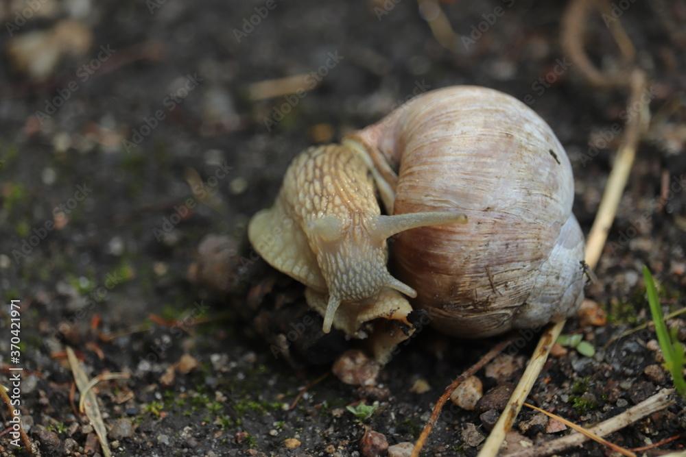 Fototapeta samotny  duży  ślimak  winniczek  w  ogrodzie