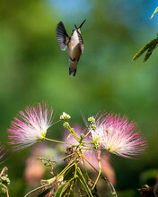 Hummingbird On A Mimosa Tree A...