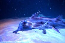 象のような鼻を持つユニークな魚 ゾウギンザメ