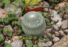 Exotic Flora. Desert Cactus. Closeup View Of A Mamillaria Brauneana, Also Known As Pincushion Cactus, In The Garden. Its Beautiful Round Shape And Green Color With A Fury Foliage Of White Thorns.