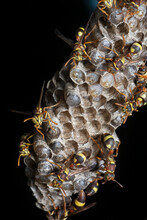 Paper Wasp Bees And Nest