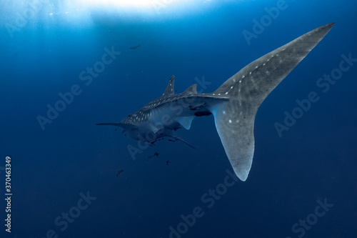 Fotomural giant Whale shark swimming underwater with scuba divers
