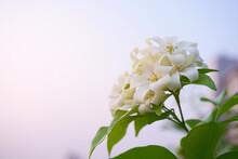 A Bunch Of White Orange Jessamine Blossom In Garden