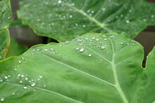The Droplet Of Water From Raindrops On Fresh Green Giant Leaflet Of Elephant Ear Plant's Leaf
