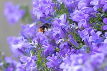 Bumblebee In Flight In Front Of Bellflowers