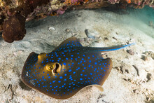 Blue Spotted Sting Ray On Coral Reef With Scuba Divers