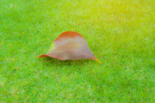 Brown Color Dried Leaf Of Tumm...