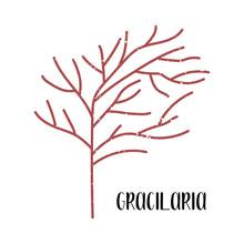 Gracilaria. Edible Seaweed. Re...